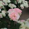 神代植物園の名残のバラ