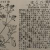 春の七草「はこべら」