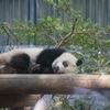 【上野動物園】シャンシャンを見に行ったら大混雑だった