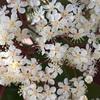ベニカナメモチ(レッドロビン)の花