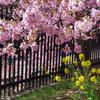 河津桜と菜の花が満開。
