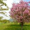 未来大のキャンパスで八重桜を…