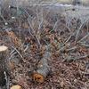 新月伐採とひこばえ、シロスジカミキリの成虫越冬