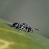 小さすぎるハチ