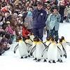 ペンギン散歩「かわいい!」 旭山動物園、初日に8000人