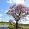 緑の桜咲く。樹齢400年のパワーと神様パワーを頂いてきました。