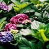 梅雨、花菖蒲より紫陽花が好き