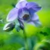さわやかなブルー系:初夏の庭の花(1)