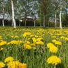 タンポポ公園と梅のような花…