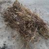 タイミングぴったり、梅雨明け後にぶっこ抜いたセイタカアワダチソウの焼き。