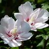 ムクゲの花二つ
