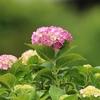 手賀沼遊歩道に咲く紫陽花