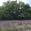 【学名の意味、調べてみた#5】真正ラベンダーLavandula angustifolia@stand.fm