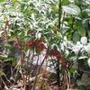 残り実の紅極む春の雪