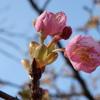 もうすぐ春・加治川治水記念公園の早咲き桜が開花しました。