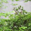 コルリ・オオヨシキリ・マミチャジナイ(大阪城野鳥探鳥 2019/04/28 4:55-11:10)