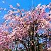 桜の下での立ち回りがエロい朝美殉。
