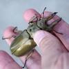 マレーシア(半島部)の昆虫総まとめ③思い出のキャメロンハイランド