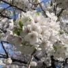 65種類1100本の桜