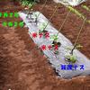 ナスの栽培(1)苗の植え付け