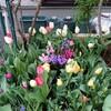 チューリップの花壇…