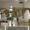 【古生物紹介】アケボノゾウ