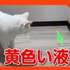 速報!猫の粗相現場で犯人を見つけました。I found a peeing cat.