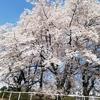 4月5日(118日目) まだまだ満開桜発見&鉄板ステーキ
