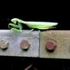 出たー!ハリガネムシ。極悪カマキリを自殺に追い込む恐怖の寄生生物