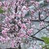 枝垂れモモの華やぎ