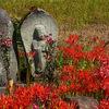 福島市・下鳥渡の彼岸花群生地で,赤い花咲くあぜ道を歩いてきた!
