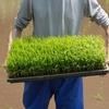 5月開催!彦根城のお隣にある庭園で田植え体験!参加者募集されています!