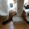 我家の猫のおもしろ写真 ~ソマリとノルウェージャンフォレストキャット~