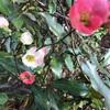 ボケの花が咲いています