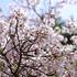 春うららの桜めぐり・柏の葉公園でお写ん歩!