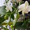胡蝶蘭が咲き始めました