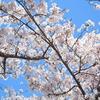 〈レインボークラブ〉桜まつりに行ってきました。