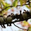 10羽のエナガ団子