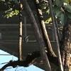 3羽のカワセミ