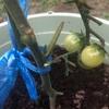 今日のトマト 7月19日 2つ収穫