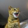 12月後半の #ねこ #cat #猫 どらやきちゃんB