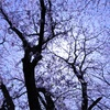 桜は青く撮る!?一眼レフカメラで逆光撮影。
