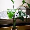 【観葉植物】オーガスタの剪定・メンテナンスをする
