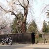 角館の武家屋敷としだれ桜です【秋田でも混む時は混みまます(^^;)】♪