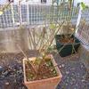 秋の開花がいまいちだった「ムンステッド・ウッド」の植替え