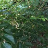 サツマイモの葉が穴だらけ・・・原因はオンブバッタ?