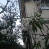 梅咲き初め