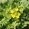 白菜の菜の花。