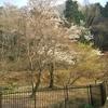 【裏庭の風景】桜が見頃になりました。