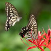 G9 PROとE-M1 markIIで曼珠沙華とアゲハ蝶を撮ってきた